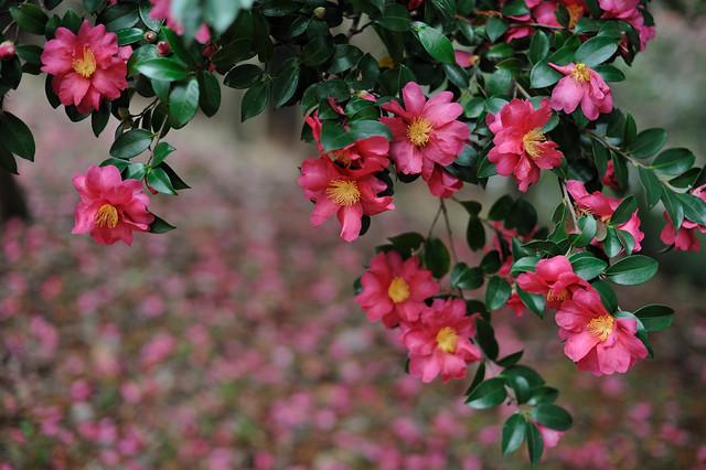 山茶花 Camellia sasanqua