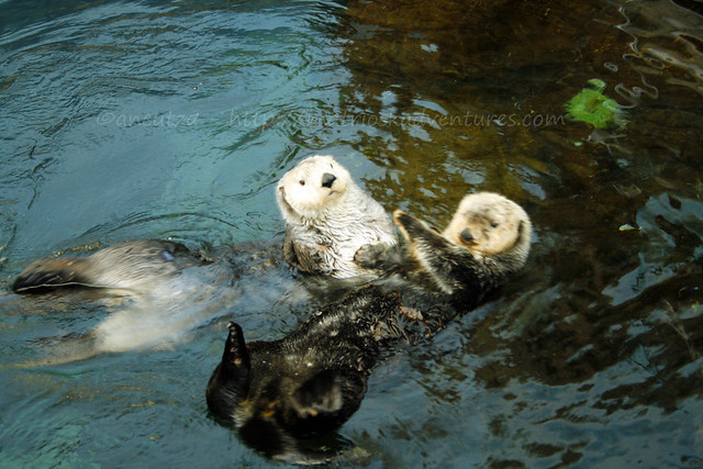 foto Lontre acquario lisbona portogallo