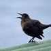 Female Carib Grackle calling.