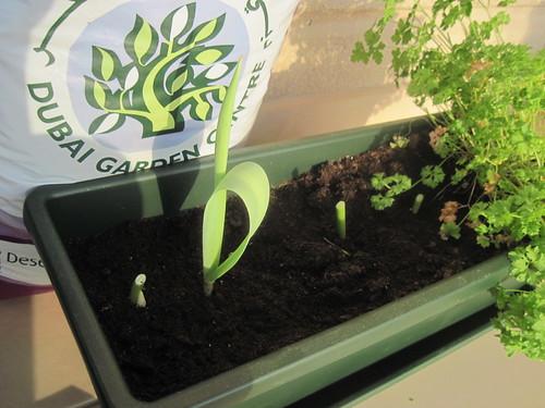 Replanting Tulips