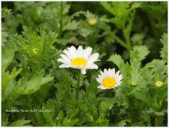 annual plant, flower, plant, marguerite daisy, chamaemelum nobile, tanacetum parthenium, daisy, wildflower, flora, oxeye daisy, meadow, daisy,