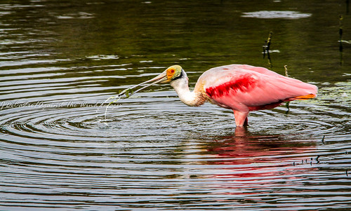 Roseate Spoonbill-3892 by Against The Wind Images