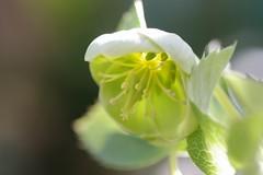 早咲きクリスマスローズ・アウグチフォリウスの開花