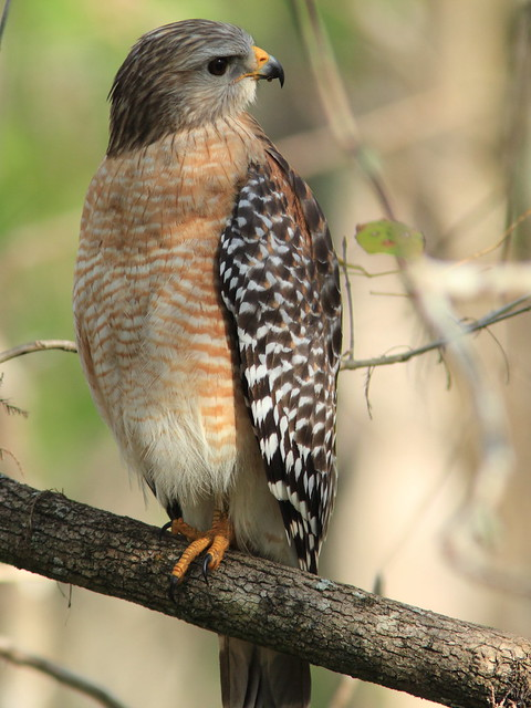 Red-shouldered hawk 3-20120131