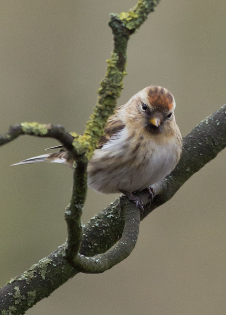 redpoll on branch