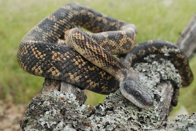 Texas rat snake elaphe lindheimeri flickr photo sharing Garden snakes in texas