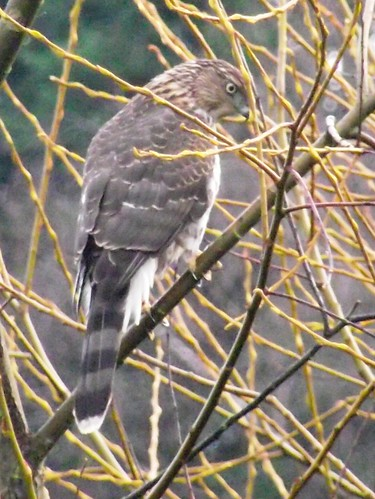 Cooper's Hawk on the Hunt: The Shot I Got and One that Got Away