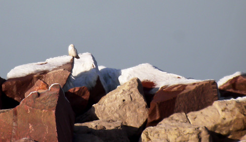 Indiana: Snowy Owl on the Jetty
