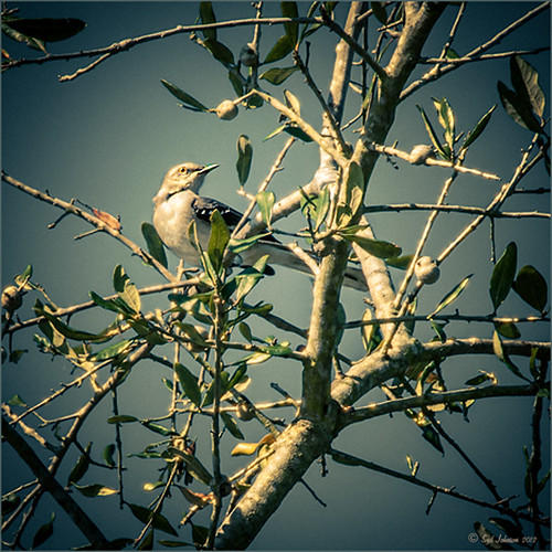 Image of a singing bird in an oak tree