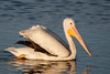White Pelican by Bill McBride Photography
