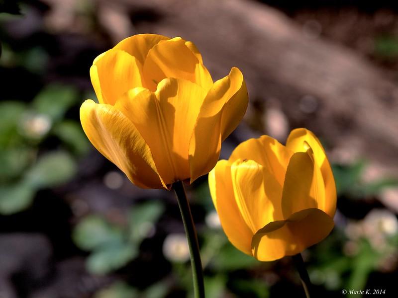 Duo de tulipes  13670939205_cd06e97afd_c