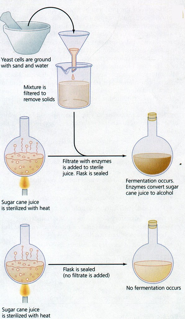 buchner-fermentation