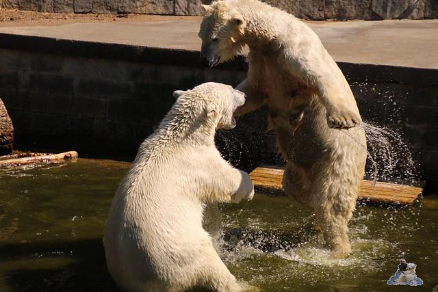 Eisbär Fiete im Zoo Rostock 07.05.2016  046