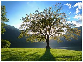lake - Bohinj tree