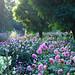 Dahlia Garden,Chatsworth House by kev747