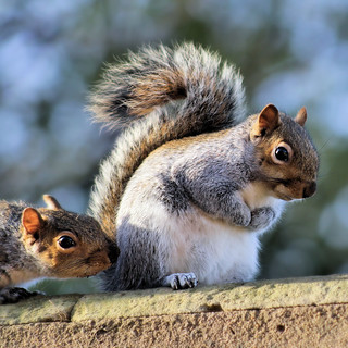 Grey Squirrels.