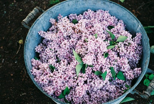 Drying lilacs