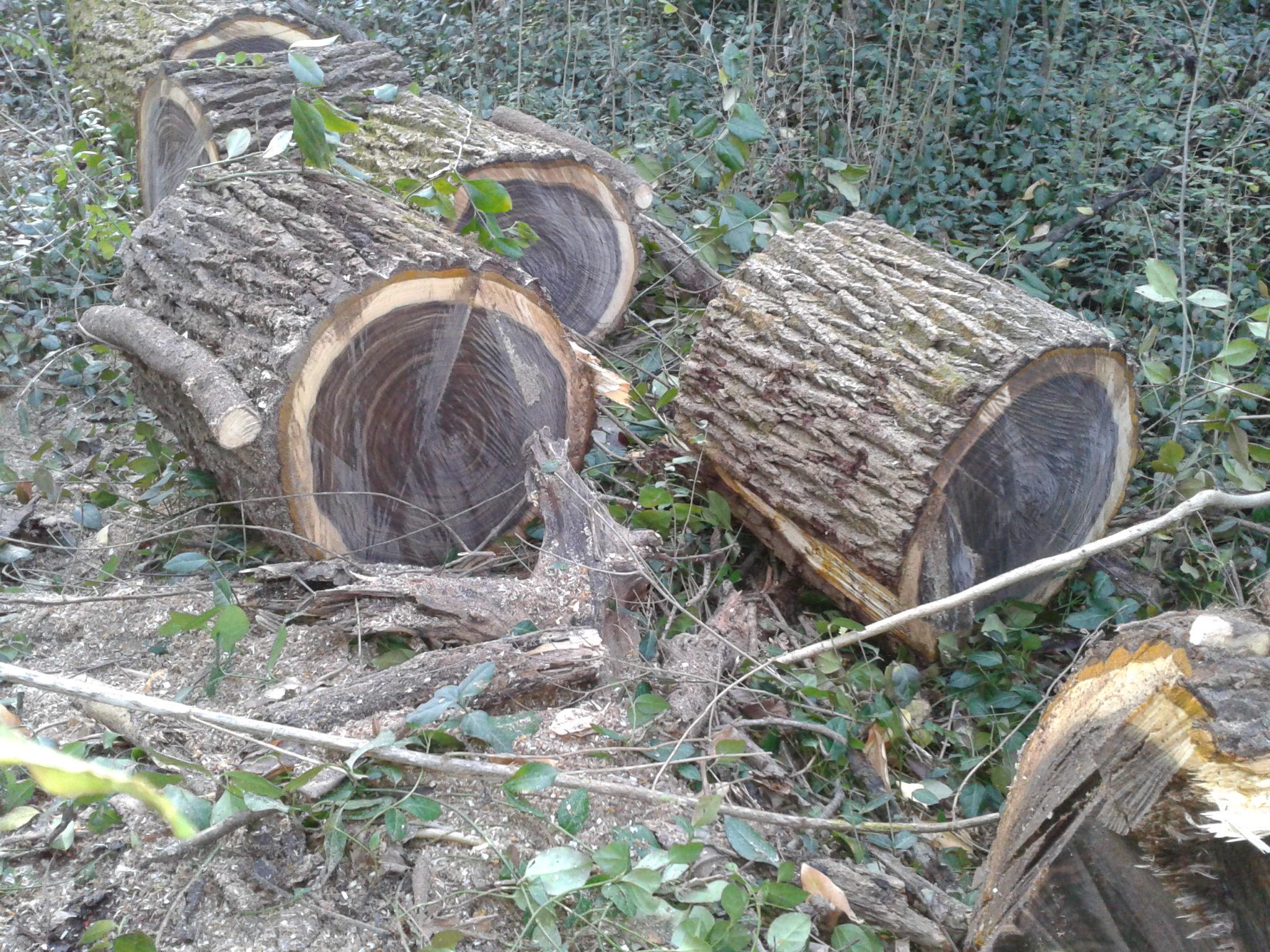 Identify This Tree Black Wood