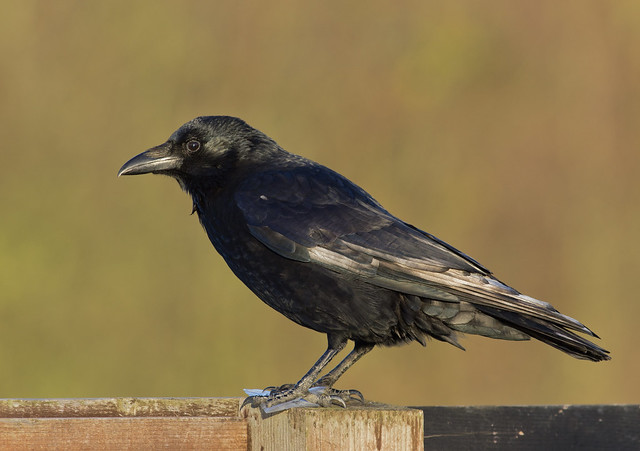 carrion crow 5