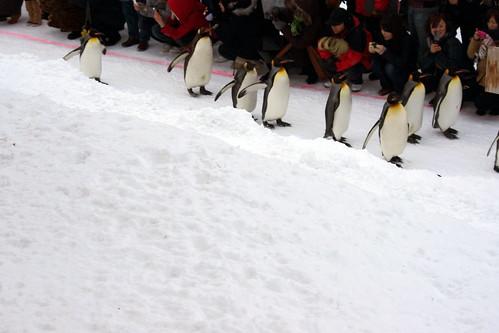 ペンギン散歩3