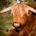 Magpie and Highland Cow-4979