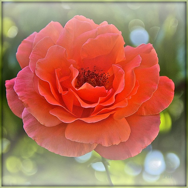 Lo How a Rose E'er Blooming