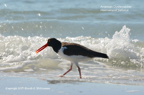American Oystercatcher by USWildflowers, on Flickr