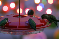 Hummingbirds 122011