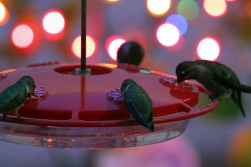 Hummingbirds 122011
