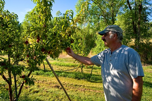 Michael Simon, of Applecart Fruit, inspects his crop for quality and potential pests in Tonasket, WA.