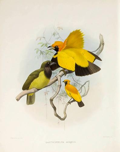 015-Ave dorada del paraiso-A Monograph of the Paradiseidae-1873 D.G. Elliot