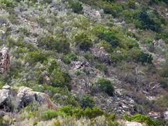 Plateau du Niffru : pendant le déjeuner, mouflon au-dessus des vasques du Niffru