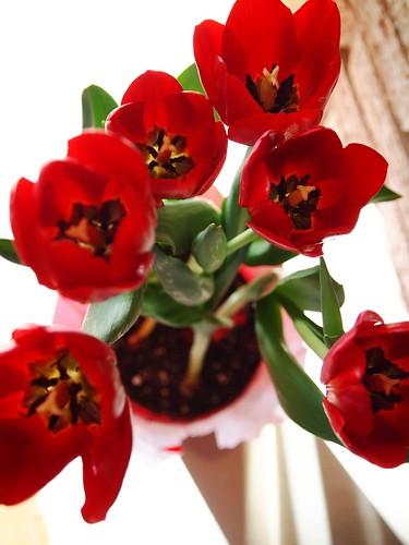 tulips in December