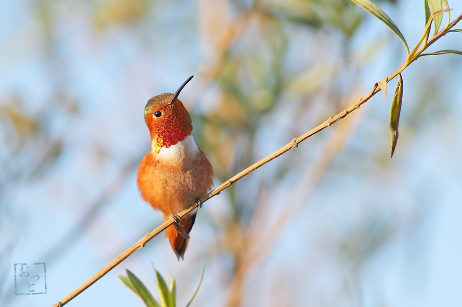 Allen's Hummingbird 122411-3