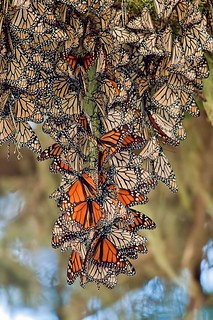 "Monarch Butterflys ""Danaus plexippus"""