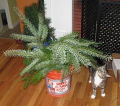 bucket of Douglas fir branches