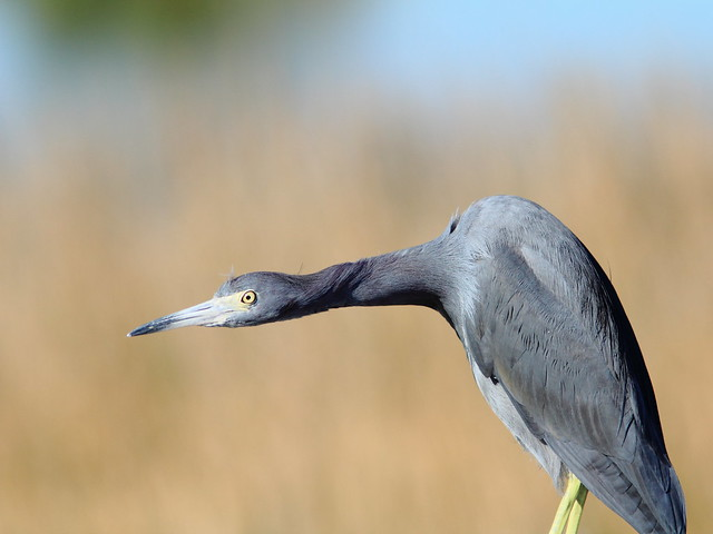 Little Blue Heron 2-20111230