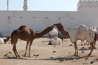 Emir's Camels
