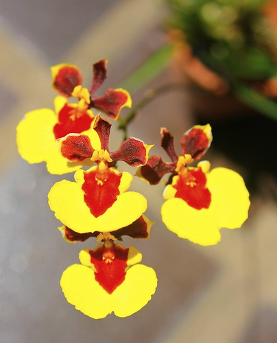 Tolumnia Taffy 'Monkey Face'