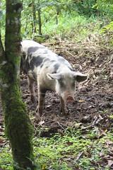 Pig at Finca Luna Nueva