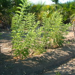 A good fence protects seedlings