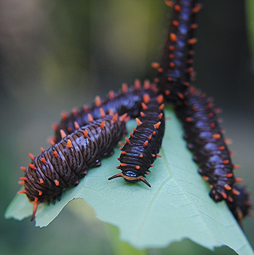 Polydamas Caterpillars... obviously the butterfly found my new Artistolochia vine! by jungle mama