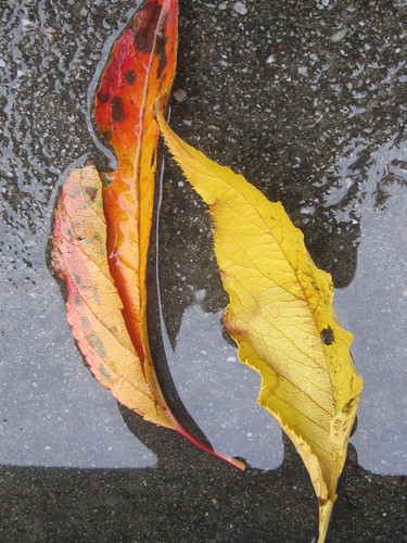 Yellow Leaves in a Water Puddle