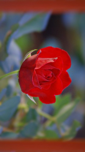 ROSSA ROSA/RED ROSE
