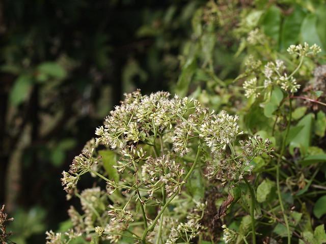 小花蔓澤蘭
