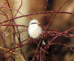 Northern Shrike, Boonton Township, Jan. 16, 2012