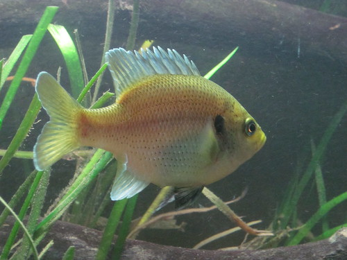 Black spotted sunfish