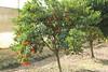Tangerine tree :)