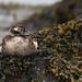 Hávella (Clangula hyemalis) - Long-tailed Duck