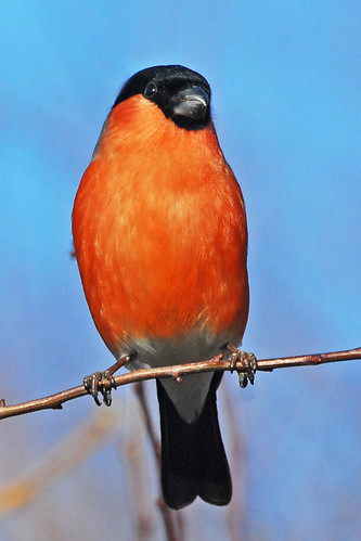 a bullfinch always makes a January day seem brighter by GVG Imaging